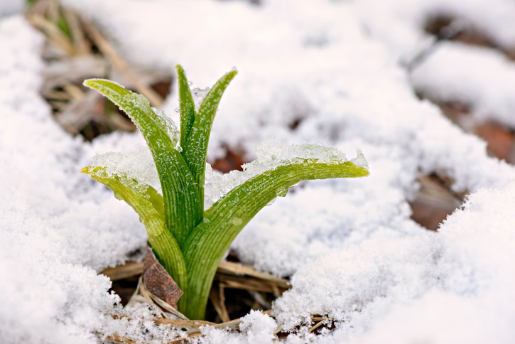 Daylily shoot in the snow